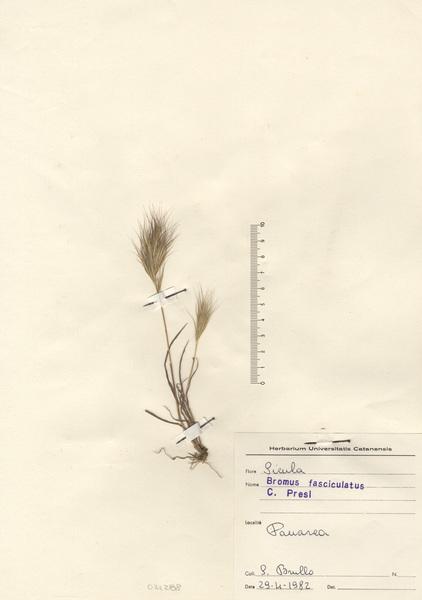 Anisantha fasciculata (C.Presl) Nevski subsp. fasciculata
