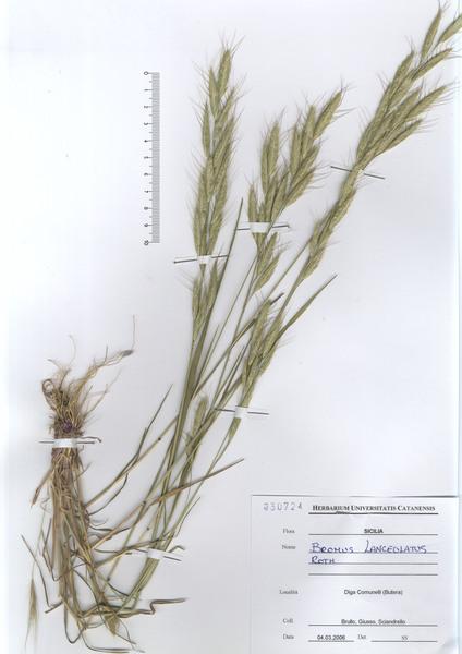 Bromus lanceolatus Roth