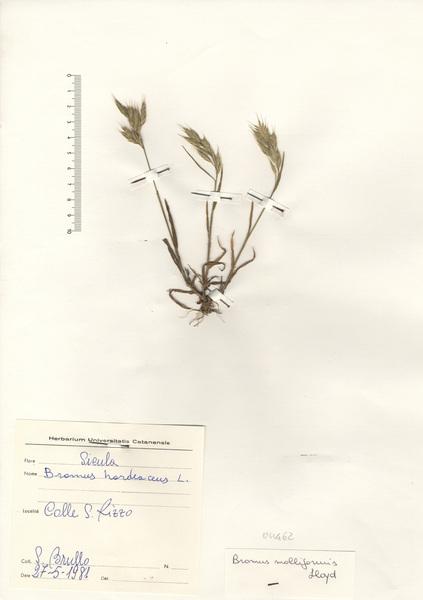 Bromus hordeaceus L. subsp. molliformis (J.Lloyd ex Billot) Maire & Weiller