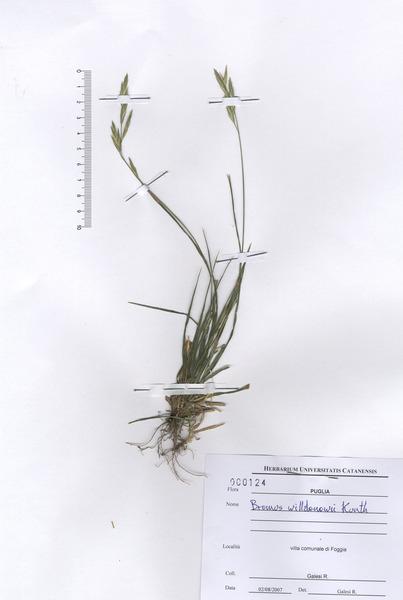 Ceratochloa cathartica (Vahl) Herter