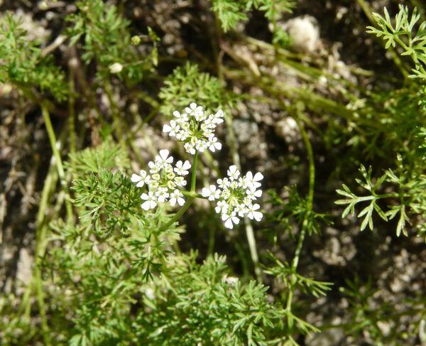 Scandix pecten-veneris L. subsp. brachycarpa (Guss.) Thell.