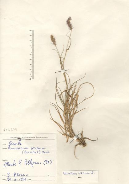 Cenchrus ciliaris L.