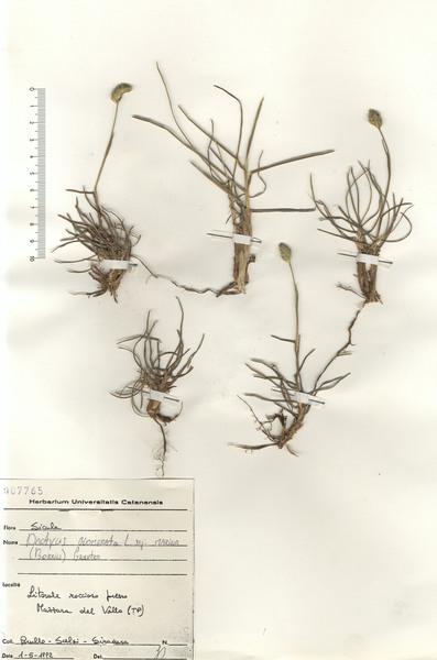 Dactylis glomerata L. subsp. hackelii (Asch. & Graebn.) Cif. & Giacom.