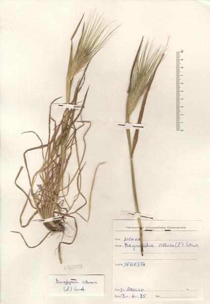Dasypyrum villosum (L.) P.Candargy