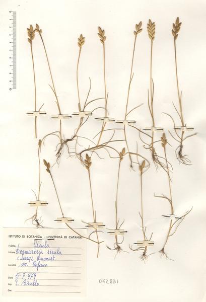 Desmazeria sicula (Jacq.) Dumort.