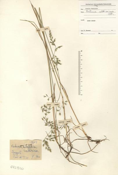 Festuca altissima Roem. & Schult.