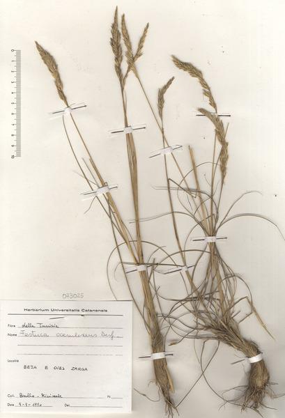Patzkea coerulescens (Desf.) H.Scholz