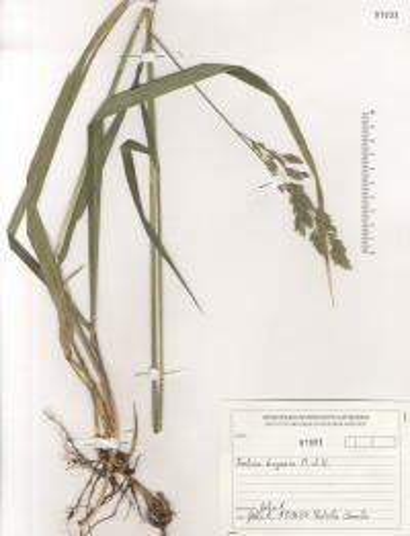 Drymochloa drymeja (Mert. & W.D.J.Koch) Holub subsp. exaltata (C.Presl) Foggi & Signorini