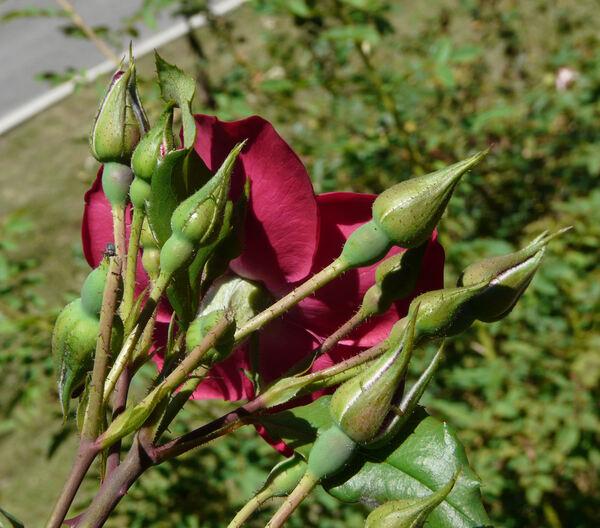 Rosa 'Hanseat ®'