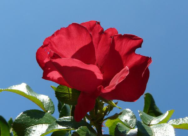 Rosa 'Robusta'