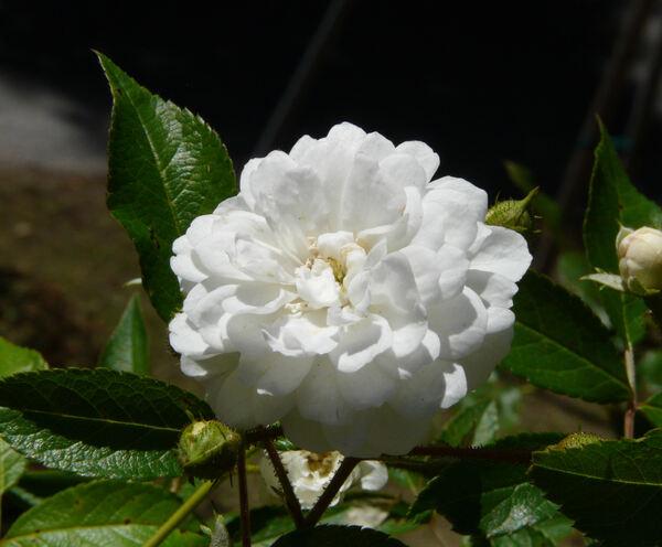 Rosa 'Guirlande d'Amour ®'