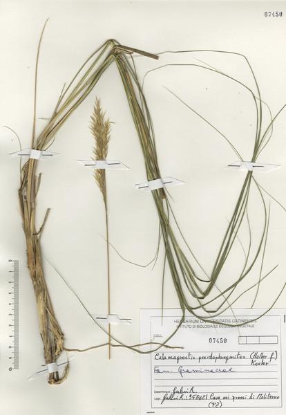 Calamagrostis pseudophragmites (Haller f.) Koeler subsp. pseudophragmites