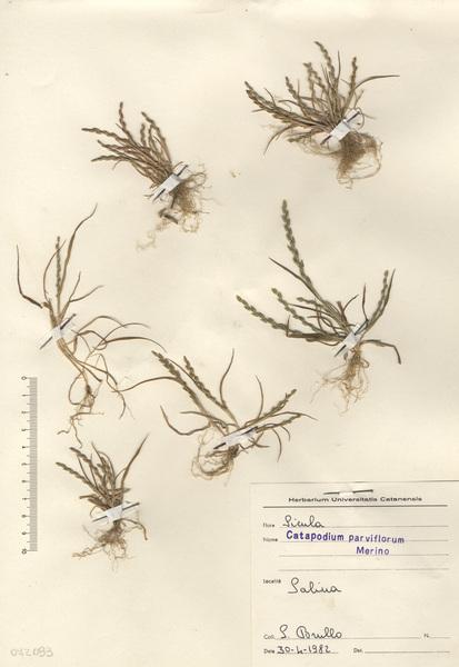 Catapodium parviflorum Merino