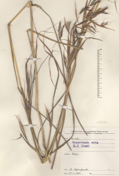 Hyparrhenia hirta (L.) Stapf subsp. hirta