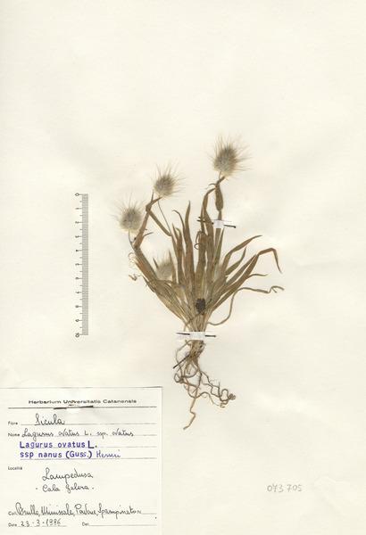 Lagurus ovatus L. subsp. nanus (Guss.) Messeri
