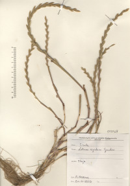 Lolium rigidum Gaudin subsp. rigidum
