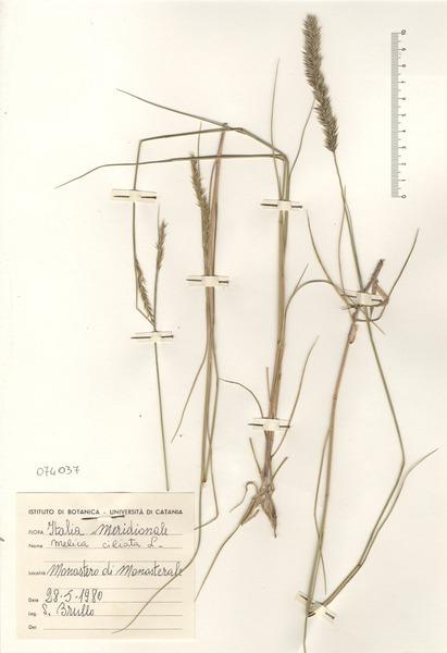 Melica ciliata L.