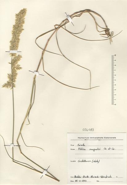 Melica ciliata L. subsp. magnolii (Godr. & Gren.) K.Richt.