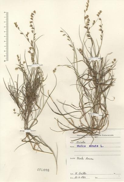 Melica minuta L. subsp. minuta