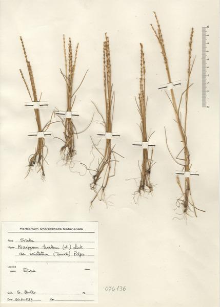 Festuca lachenalii (C.C.Gmel.) Spenn.