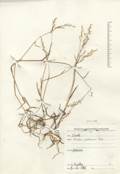Milium vernale M.Bieb. subsp. montianum (Parl.) K.Richt.