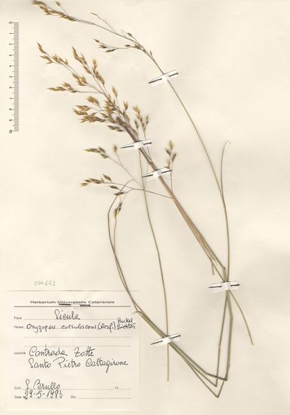 Piptatherum coerulescens (Desf.) P.Beauv.