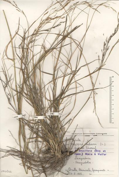 Oloptum miliaceum (L.) Röser & H.R.Hamasha