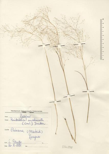 Molineriella minuta (L.) Rouy
