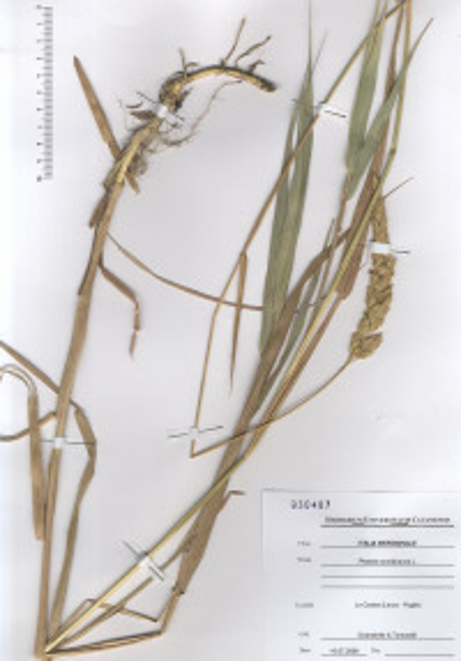 Phalaris arundinacea L. subsp. arundinacea