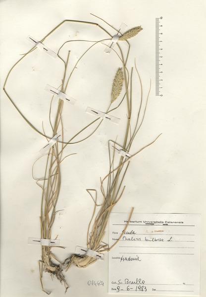 Phalaris aquatica L.