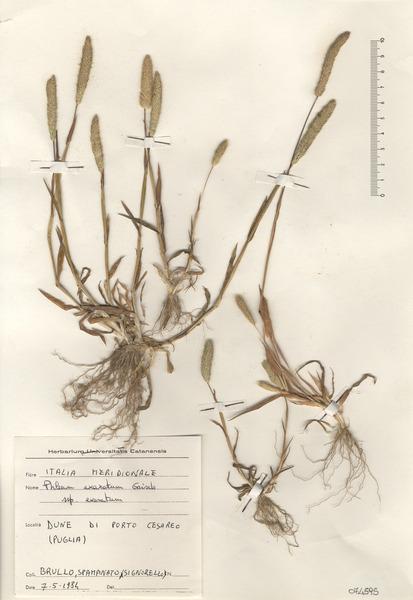 Phleum exaratum Hochst. ex Griseb. subsp. exaratum