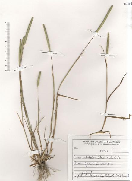 Phleum subulatum (Savi) Asch. & Graebn. subsp. subulatum