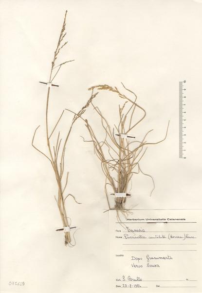 Puccinellia festuciformis (Host) Parl. subsp. lagascana M.A.Juliá & J.M.Monts.