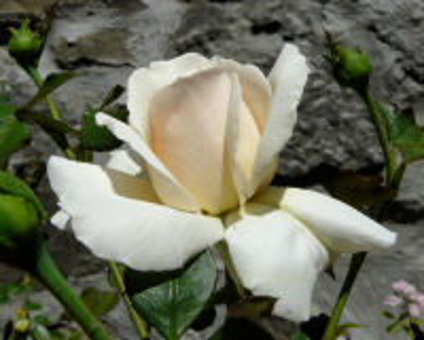Rosa 'Penny Lane'