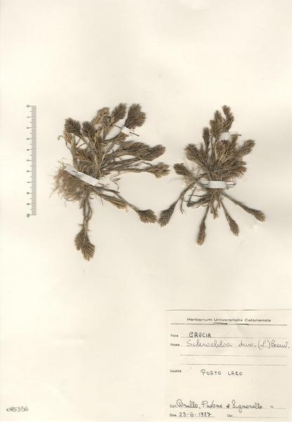 Sclerochloa dura (L.) P.Beauv.