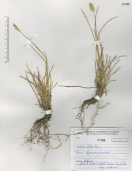 Sesleria nitida Ten. subsp. nitida