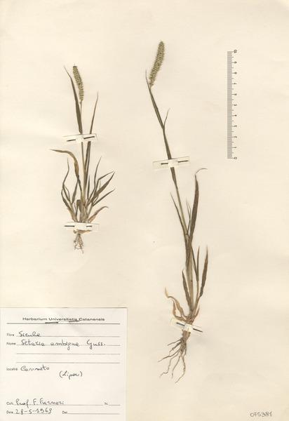 Setaria verticillata (L.) P.Beauv.