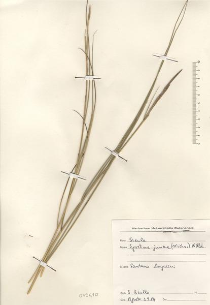 Sporobolus pumilus (Roth) P.M.Peterson & Saarela