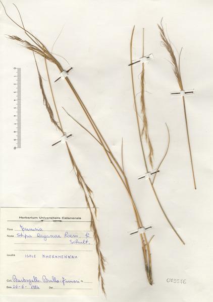 Stipa letourneuxii Trabut subsp. letourneuxii