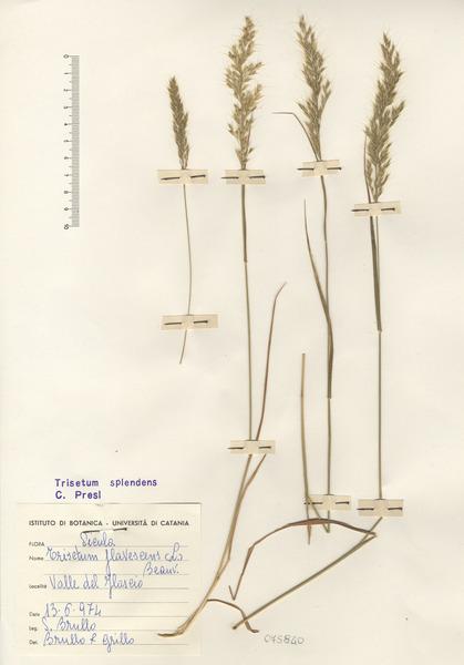 Trisetaria flavescens (L.) Baumg.