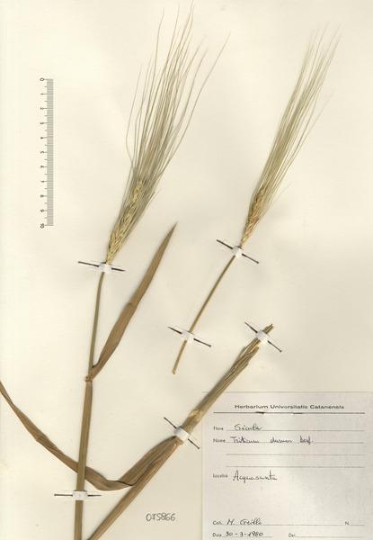 Triticum turgidum L. subsp. durum (Desf.) Husn.