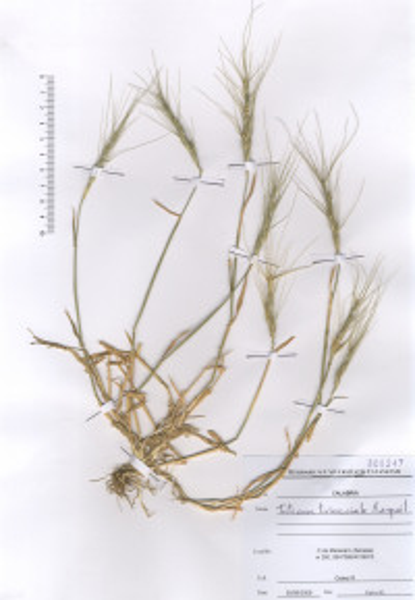 Triticum triunciale (L.) Raspail subsp. triunciale