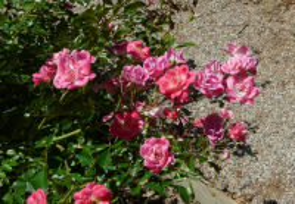 Rosa 'Fuchsia Meidiland ™'