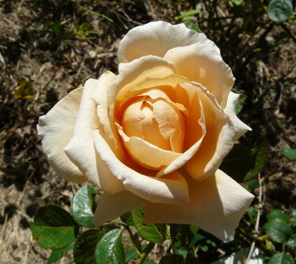 Rosa 'Abbaye de Cluny ®'