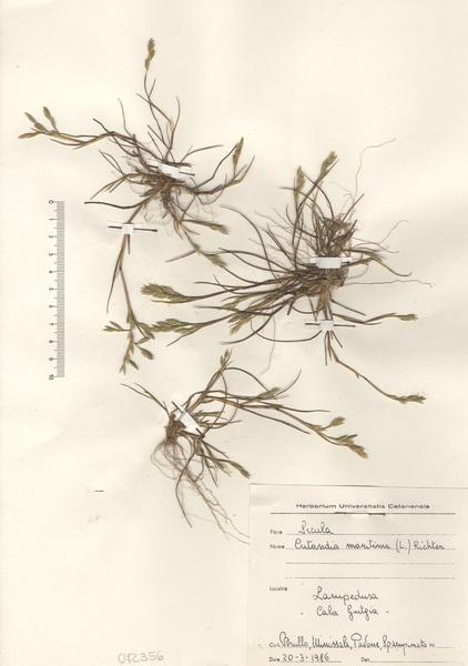 Cutandia divaricata (Desf.) Barbey