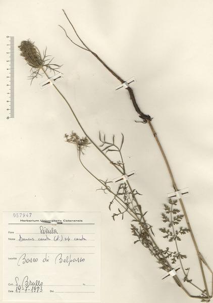 Daucus carota L. subsp. carota