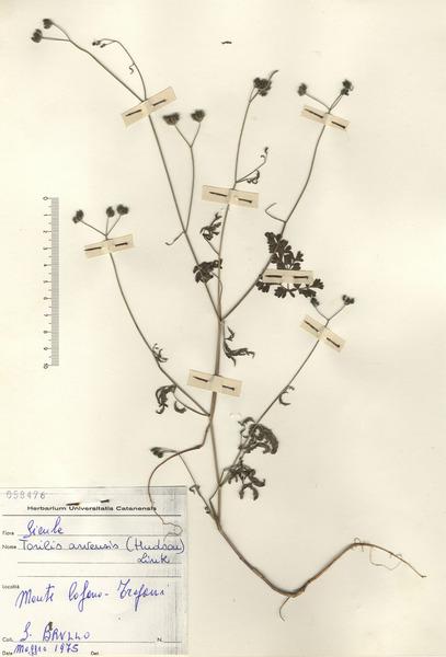 Torilis arvensis (Huds.) Link