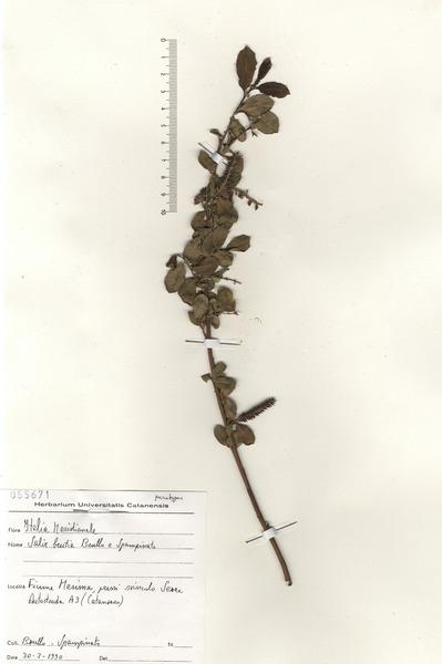Salix brutia Brullo & Spamp.