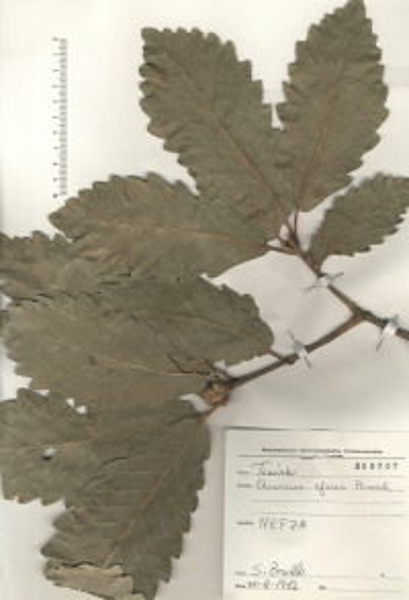 Quercus afares Pomel