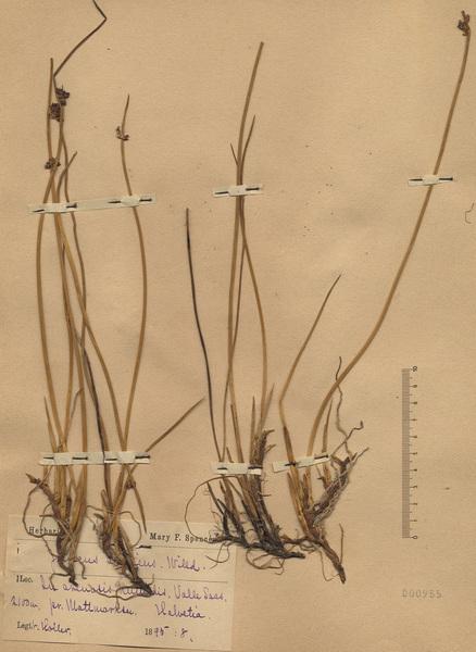 Juncus arcticus Willd.